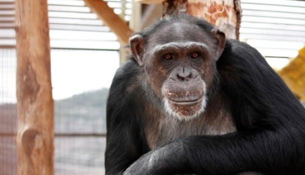 As seis melhores pinturas feitas por chimpanzés