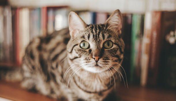 Donos de gatos são mais inteligentes que os de cães, diz estudo de universidade norte-americana